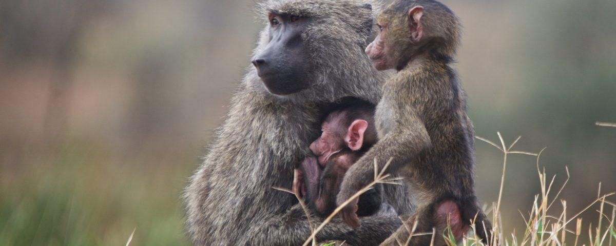 Savanna Baboons