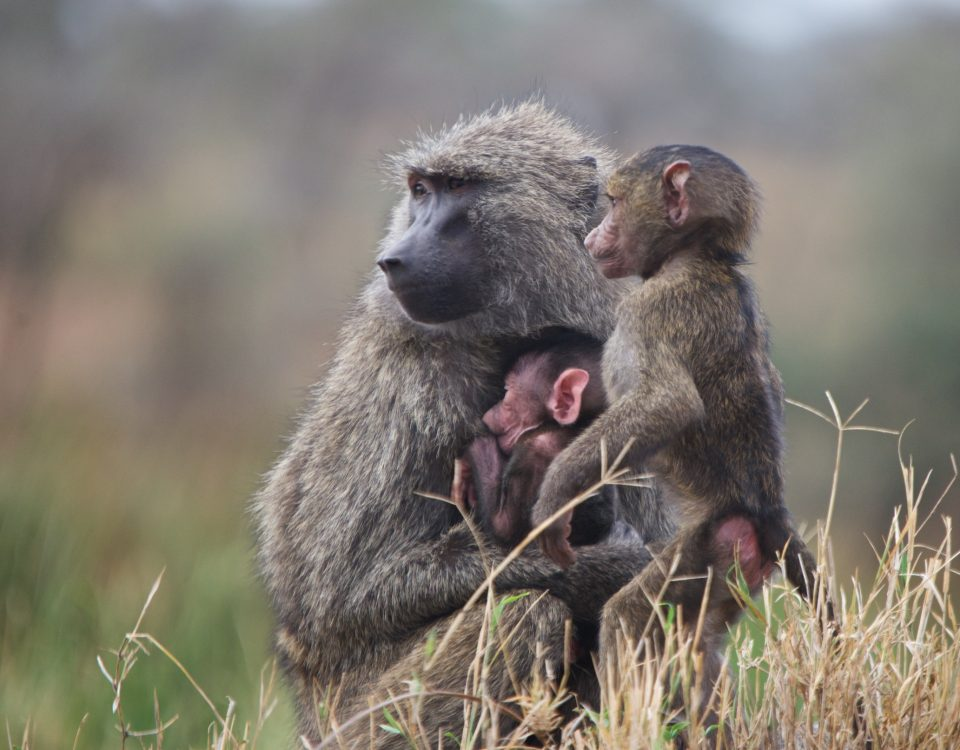 Savanna Baboons