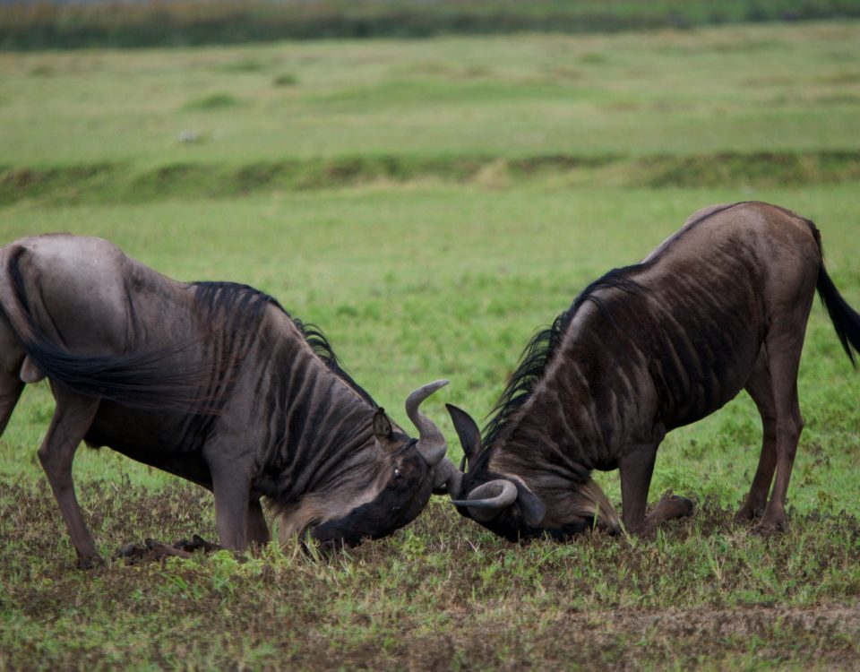 Wildebeest fighting image